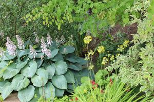Hosty w roli głównej, ale podczas naszej wizyty podziwialiśmy także kwitnące okazy Primula florindae o mocnym zapachu rosnące obok