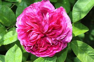 Róże kwitły w czerwcu bardzo obficie