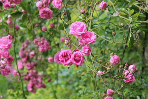 Nowe nasadzenia róż