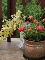 """""""Mandarin"""" - popularna róża miniaturowa, fot. Anna Ścigaj"""