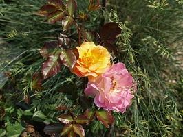 Donice pozwalają na tworzenie dowolnych kompozycji. Tutaj róża wstawiona do ozdobnej trawy, fot. Anna Ścigaj