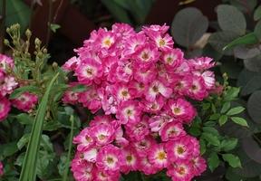 """""""Degenhard"""" - niewielka, ale bardzo ozdobna róża, kwitnąca w dużych bukietach prawie cały sezon, fot. Anna Ścigaj"""