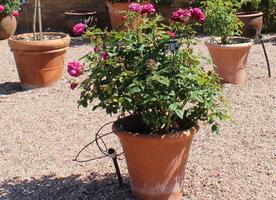 Zamontowanie systemu nawadniającego do każdej donicy oszczędza nasz czas przy pielęgnacji róż, fot. Danuta Młoźniak