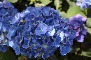 """Hydrangea macrophylla """"Enziandom"""" - ma kompaktowy pokrój, granatowe kwiaty na glebach kwaśnych i miedziane liście, gdy się przebarwiają jesienią. Jej kwiaty są idealne do cięcia."""