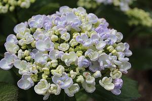 """Hydrangea macrophylla """"Ayesha"""" - o niezwykle pięknych kwiatach przypominających popcorn"""