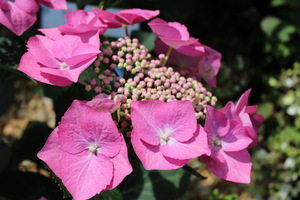 """Hydrangea macrophylla """"Fasan"""" - wyjątkowy, średniej wielkości krzew o spłaszczonych, lśniących różowo - czerwonych kwiatostanach"""