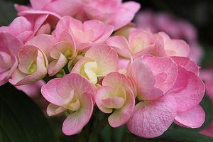 """Hydrangea macrophylla Beautensia """"Papillon"""" - nowość 2011 na zewnątrz i do wewnątrz. Jej kwiaty naprawdę wyróżniają się w tłumie i przyciągną wzrok w każdym salonie"""