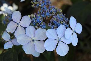 """Hydrangea serrata """"Blue Bird"""""""
