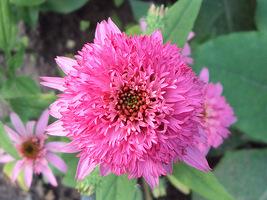 """Echinacea """"Pink Double"""", fot. Monteverde"""