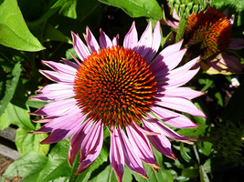 "Echinacea purpurea ""Hope"", fot. Danuta Młoźniak"