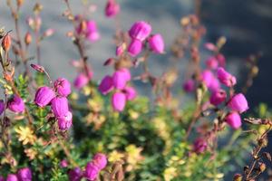 Daboecia cantabrica (dabecja kantabryjska), fot. Danuta Młoźniak