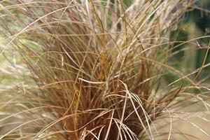 Carex buchananii - turzyca o miedzianej barwie będzie stanowiła ładny i delikatny akcent, fot. Danuta Młoźniak