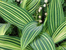 """Convallaria majalis """"Albostriata"""" - konwalia majowa, wszystkie części rośliny są trujące, przy czym szczególnie wrażliwe na zatrucia są dzieci"""