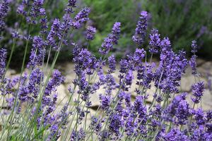 Lawenda (Lavandula) - roślina kosmetyczna uprawiana dla eterycznych olejków wykorzystywanych w kosmetyce