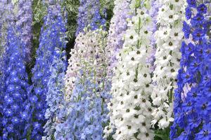 Kwiaty ostróżek uzywane są do potpourri