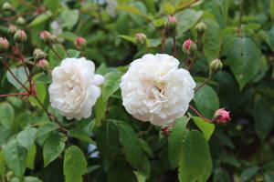 Róża z parasola