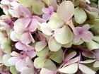 White pink hydrangea