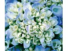 Hydrangea endless summer large 63142