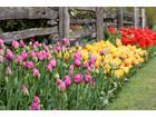 Gf 7rm4 dwht dgoa tulipany w ogrodzie 664x442