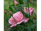 Roza paki rozowa
