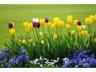 Tulipany w ogrodzie 621x0 rozmiar niestandardowy