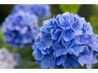 16268461 niebieska hortensja