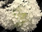 6919140 ten kwiat hortensji  dedykuje wszystkim moim ulubionym i milym gosciom