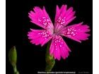 Dianthus deltoides gozdzik kropkowany