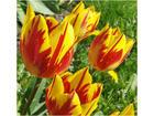 Tulip mm