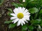 Kwiat rumianku 300x225